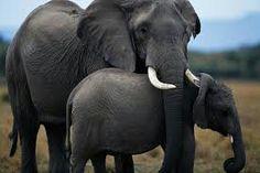 Elefanti mira a la camara