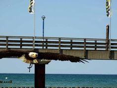 Die Erlebniswelt Fotografie Zingst – eine willkommene Weiterbildung |  Weißkopfseeadler am Strand von Zingst (c) Frank Koebsch