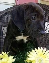 BRANDY is an adorable 10 week old Lab / Plott Hound mix rescued from rural North Carolina. Brandy has been fostered with children, other puppies and cats! She's now sleeping through the night! Brandy is up to date on age appropriate vaccines. Puppy training is recommended for ALL puppies.  Please visit our website WWW.LULUSRESCUE.COM and click on the ADOPT tab to apply!
