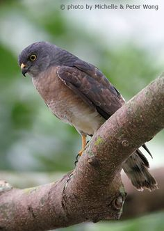 Chinese Sparrowhawk (Accipiter soloensis) the Wongs.