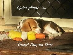 Beagles! I will tiptoe through the house so I don't disturb the guard dog. lol