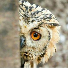 Shy Owl .