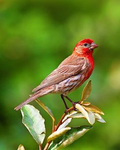 Beautiful!!!  House Finch