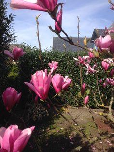 19 magnolia soulangiana tulpen magnolie ein klassiker unter den magnolien und bl ht in. Black Bedroom Furniture Sets. Home Design Ideas