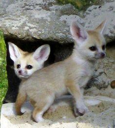 Very Cute baby fenec fox Cute Baby Animals, Animals And Pets, Funny Animals, Animal Babies, Fennec Fox Baby, Very Cute Baby, Cute Fox, Wild Dogs, Mundo Animal