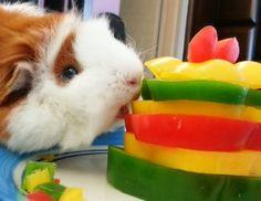 Guinea pig birthday cake from bell pepper
