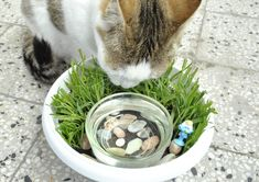 How to Create a Cat Water Bowl Planter. Have you ever wanted to create a mini garden for you cat, filled with cat grass and catnip, but couldn't due to space? Why not combine it with your cat's water dish? A cat water bowl planter is a. Cat Water Bowl, Cat Grass, Cat Garden, Fairies Garden, Cat Enclosure, Cat Room, Cat Behavior, Litter Box, Diy Stuffed Animals