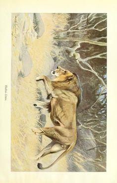 Lion, Brehms Tierleben: Allgemeine kunde des Tierreichs, Vol XII, Alfred Edmund Brehm, 1911.