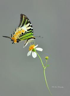 # Five Bar Swordtail Butterfly
