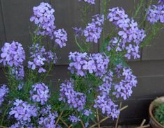 Grandma always had some purple Phlox