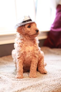She's not fake!  Goldendoodle puppy from River Valley Doodles.  Ready to tap dance at 2 months old.
