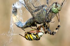 Free Image on Pixabay - Dragonfly, Spider, Wasp Spider, Web Free Pictures, Free Images, Wasp, Dragonflies, Public Domain, Spider, Animals, Dragon Flies, Spiders