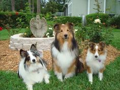 Shelties in the front yard