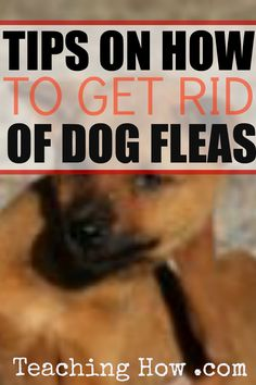 How to get rid of dog fleas tips - Click on the following link, because to discover how!   http://www.teachinghow.com/how-to-get-rid-of-dog-fleas