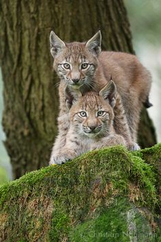 Two young Lynx looking in my camera (Lynx lynx) www.christian-naumann.de