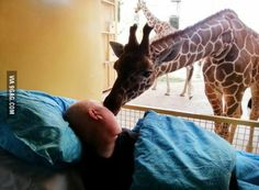 A final goodbye: Dying zoo worker gets a kiss from giraffe. Heart-breaking pictures have emerged of the moment a giraffe said goodbye to a terminally ill zoo worker, who had spent most of his adult life cleaning the animal's enclosures. Tumor Cerebral, Brain Tumor, Final Goodbye, Rotterdam Zoo, Rotterdam Netherlands, Zoo Giraffe, Giraffe Habitat, Giraffes, Being A Nurse