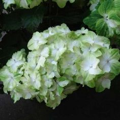 Hortensia - Hydrangea macrophylla Magical Jade