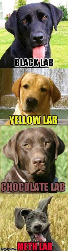 Not even once people!!! | BLACK LAB YELLOW LAB CHOCOLATE LAB METH LAB | image tagged in labs,memes,funny dogs,dogs,not even once,funny | made w/ Im… | Pinterest
