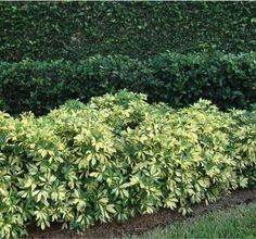 Variegated Arboricola trinette, schefflera arboricola trinette Fertilizer: March, June & October with acidic fertilizer with minor elements Trim: as needed to control height. 2'x2' or 8' tall x 4' wide Plant 2' on center