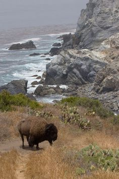 The Isle Where Buffalo Roam: Surprising Science - Smithsonian.com (Photo: Catalina Island Conservancy)