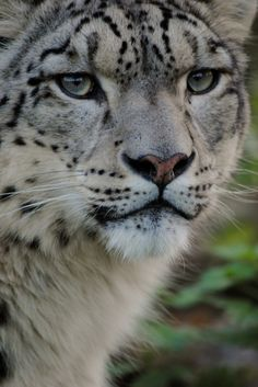 Snow Leopard - Big Cats - by Animals Everywhere!