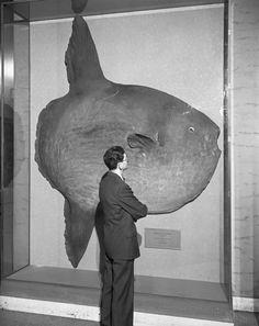 Visitor viewing Ocean Sunfish. 1948. American Museum of Natural History