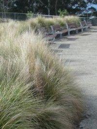 some native grasses for shot, foreground element Garden Hedges, Garden Plants, Garden Landscaping, Garden Bed, Landscaping Ideas, Grafton House, Lomandra, Drought Resistant Plants, Sloped Backyard
