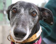 Shep...An adoptable retired greyhound