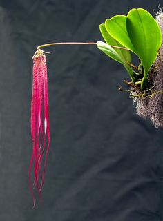 Explore Mikaels orchids' photos on Flickr. Mikaels orchids has uploaded 3380 photos to Flickr.