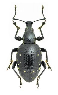 Otiorhynchus rugosus