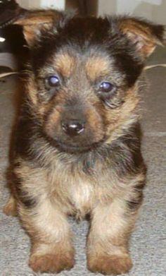 Australian Terrier Puppy #dogs #animal #australian #terrier