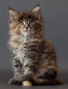I have a Maine Coon cross - she is beautiful, not as fluffy as this one - they are SO interactive and talk to you all the time, she follows you around like a puppy.  So different to all the cats I have ever owned!