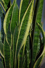 Snake Plant (Sansevieria trifasciata) | The sword-like leaves of this easy-to-grow succulent make a striking focal point in the interior.  This plant will take quite a bit of abuse before protesting. Cultivation Requirements:  Low to bright light.  Well-draining soil. Water when soil is almost dry.  Fertilize every 2 to 3 months.