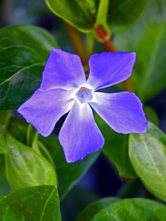 wind and sun  tickle green leaves -  periwinkle awakens