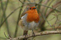 Tutustu Mustarastas ja monien muiden suomalaisten lintulajien ääniin osoitteessa lintujen-äänet.net. Toimii myös puhelimella.