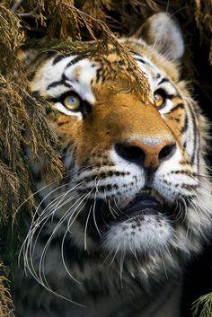 Tiger ❤
