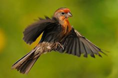 The House Finch (Haemorhous mexicanus) is a bird in the finch family Fringillidae, which is found in North America.