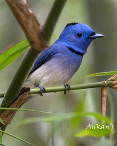 "Black-naped monarch. Order:	Passeriformes Family:	Monarchidae Genus:	Hypothymis Species:	H. azurea Binomial name Hypothymis azurea (Boddaert, 1783).  is a slim and agile passerine bird belonging to the family of monarch flycatchers. They are sexually dimorphic with males having a distinctive black patch on the back of the head and a narrow black half collar (""necklace"") while the female is duller and lacks the black markings."