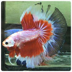 AquaBid.com -FANCY KIMONO 011