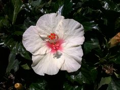 White Hibiscus...my favorite flowers