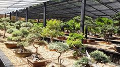Western Cape Bonsai Heritage Bonsai Collection at the Stellenbosch Botanical Garden. The collection houses some of the oldest bonsai from some of the first South African bonsai enthusiasts. One of the oldest bonsai on display is a pine tree (Pinus patula) dating from 1940. #bonsai #Stellenbosch #botanicalgarden