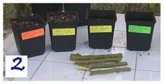 TrumpetFlowers.com∼Experiment December 2011∼Egg Versus Rooting Hormone Plant Propagation Technique