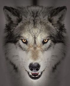🐺If you Love Wolves, You Must Check The Link In Our Bio 🔥 Exclusive Wolf Related Products on Sale for a Limited Time Only! Wolf Images, Wolf Photos, Wolf Pictures, Wolf Tattoos, Wolf Face Tattoo, Wolf Face Drawing, Tier Wolf, Wolf Hybrid, Angry Wolf