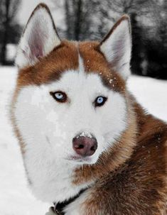 Ginger husky with blue eyes...that'll be my next dog!