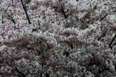Kirschblüten 6