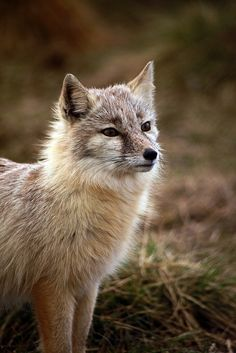 Corsac Fox by Brett Terry