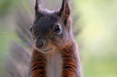 Tiltræk de sympatiske små egern i din have, ved at have store gran og fyrretræer, hvor koglefrø er egernets foretrukne fødekilde.