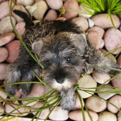 OMG a what an adorable Tiny Little mini Schnauzer puppy his name is Oscar so tiny and darling❤️
