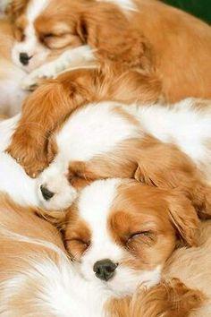 Sleeping Cavaliers