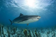 Photo about A Tiger shark swimming over a reef in the Bahamas. Image of teeth, hunting, swimming - 8965780